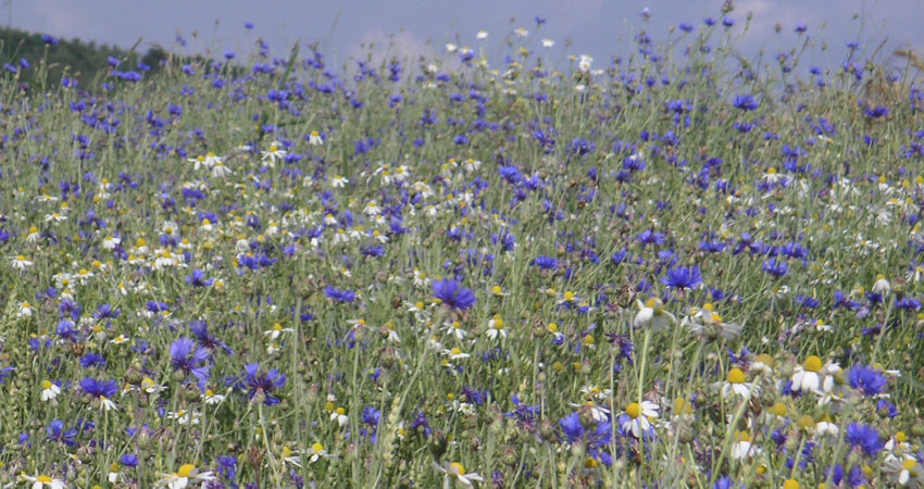 Blühstreifen mit Kornblumen und Margeriten