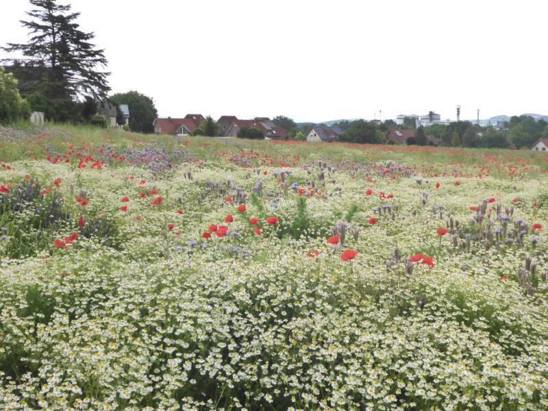 Blick auf Ehrentrup mit Blühwiese im Vordergrund