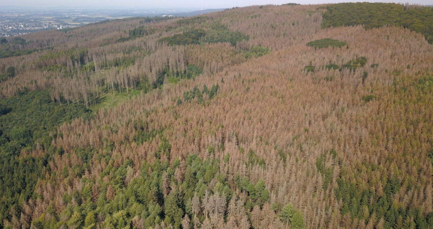 Abgestorbene Bereiche im Stadtwald Lemgo im August