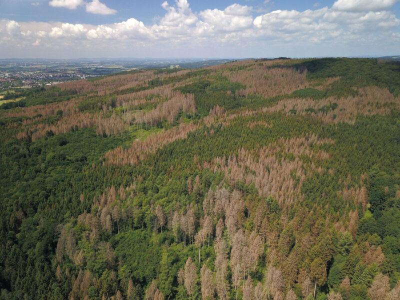 Abgestorbene Bereiche im Stadtwald Lemgo Juni